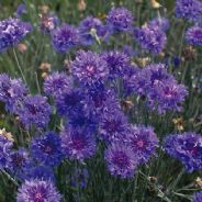 Cornflower Crown double Blue - Appx 200 seeds